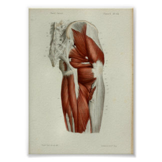 1844 Vintager Anatomie-Druck Muscles angesagtes Poster