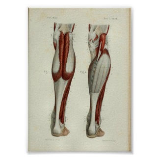 1844 Vintager Anatomie-Druck Muscles Kalb Poster