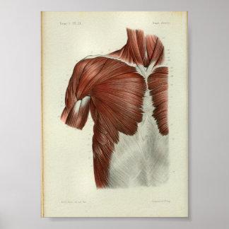 1844 Vintager Anatomie-Druck Muscles Kasten Poster