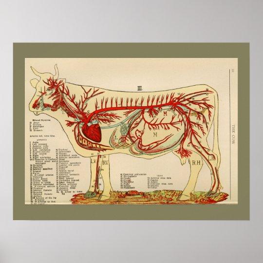 1917 Vintages Kuh-Arterien-Anatomie-Diagramm Poster | Zazzle.ch
