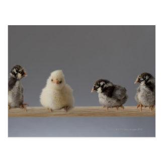 7 Baby-Haustier-Hühner auf einer Stange Postkarten