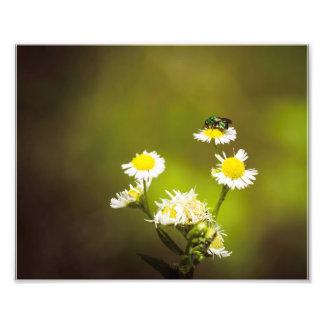Abeille verte sur les fleurs blanches photographes