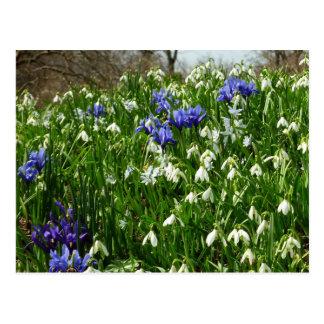 Abhang der frühen Frühlings-Blumen I Postkarten