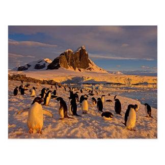 Adelie-Pinguin, Pygoscelis Adeliae, Kolonie Postkarte