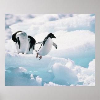 Adelie-Pinguine (Pygoscelis adeliae) die Antarktis Poster