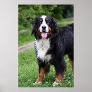 Affiche de chien de montagne de Bernese, copie, id