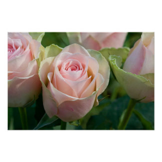 Affiche rose de roses