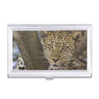 Afrika. Tansania. Leopard im Baum bei Serengeti Visitenkarten Dose