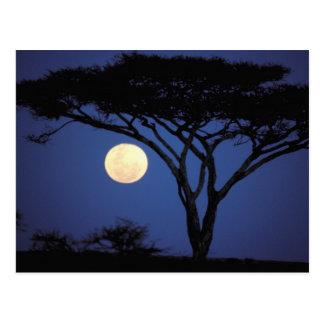 Afrika, Tansania, Tarangire. Akazienbaum herein Postkarte