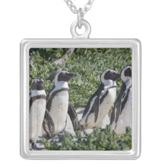 Afrikanische Pinguine, früher bekannt als Esel Versilberte Kette