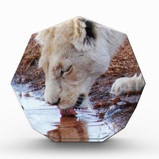 Afrikanische weiße Löwe-Reflexion Acryl Auszeichnung