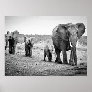 Afrikanischer Elefant u. Kälber | Kenia, Afrika Poster