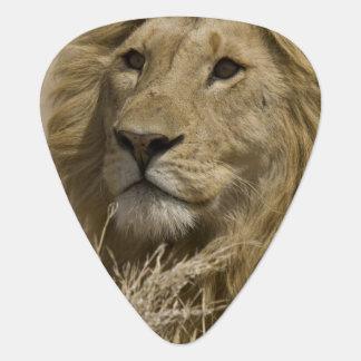 Afrikanischer Löwe, Panthera Löwe, Porträt von a Plektrum