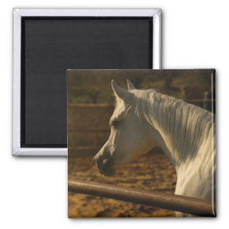 Aimant Cheval Arabe gris
