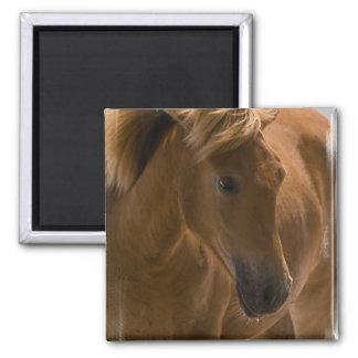 Aimant de carré de conception de cheval de châtaig