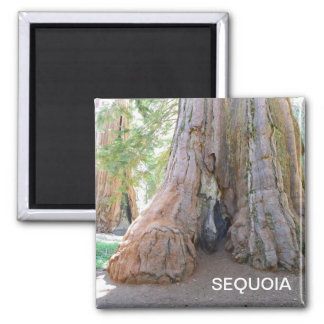 Aimant frais de séquoia géant !