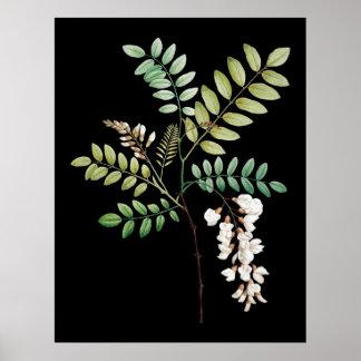 Akazie, schwarzer Ort, ummauern botanischen Druck Poster