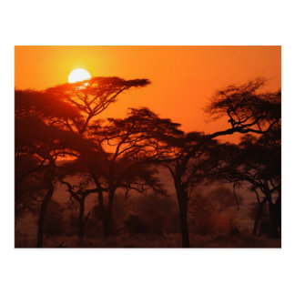 Akazienwald silhouettiert am Sonnenuntergang, Postkarte