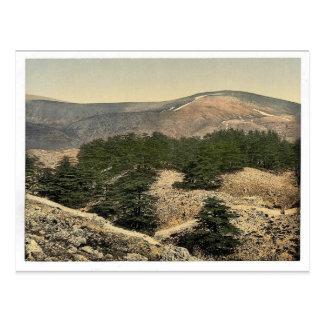 Allgemeine Ansicht der Zedern vom Libanon, der Postkarte