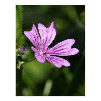 Allgemeine Malven-Blume Postkarte
