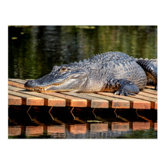 Alligator bei Homosassa entspringt Postkarte