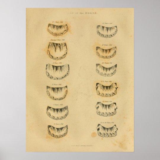 Alter des Pferds durch Zahn-Anatomie-Vintagen Poster | Zazzle.ch