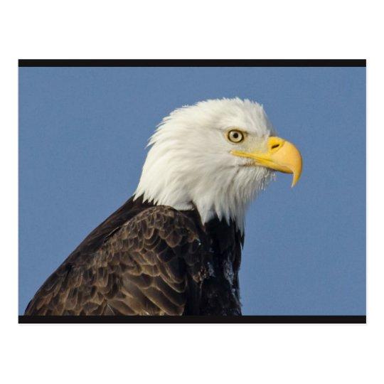 Amerikanische Postkarte des Weißkopfseeadler-II