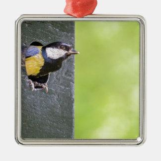 Amselelternteil im Loch des Nistkastens Quadratisches Silberfarbenes Ornament