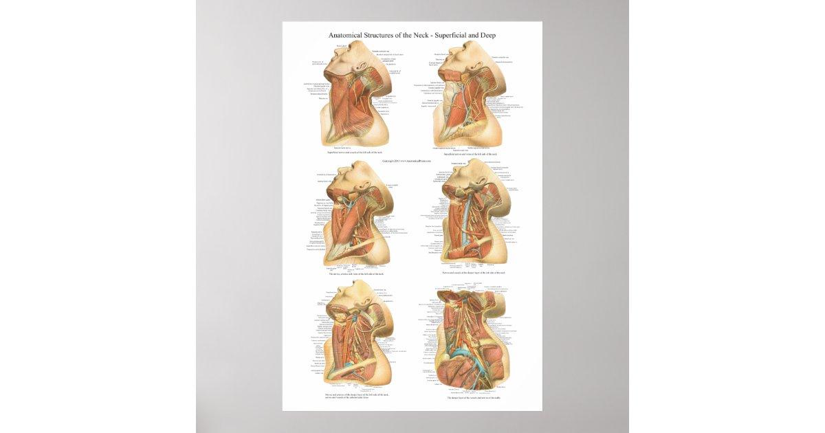 Anatomie der Hals-Diagramm-oberflächlichen u. Poster | Zazzle.ch