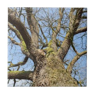 Ansicht von unteneichenbaum ohne Blätter im Winter Keramikfliese