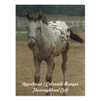Appaloosa/Colorado-Förster ThooughbredColt Postkarte