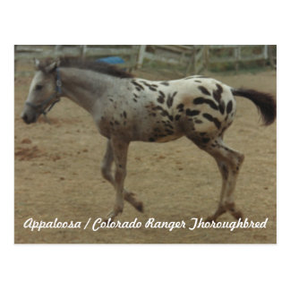 Appaloosa/Colorado-Försterthoroughbred-Colt II Postkarte