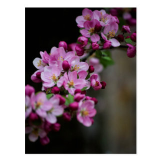 Apple-Blüten Postkarte