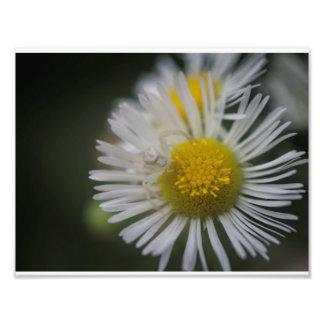 Araignée de crabe sur une fleur photographes