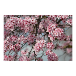 Arbre de fleurs de cerisier poster