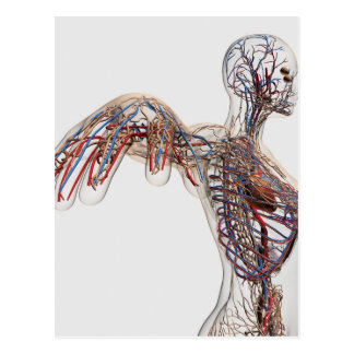 Arterien, Adern und Lymphsystem 2 Postkarte