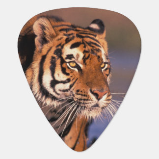 Asien, Indien, bengalischer Tiger Panthera der Plektrum