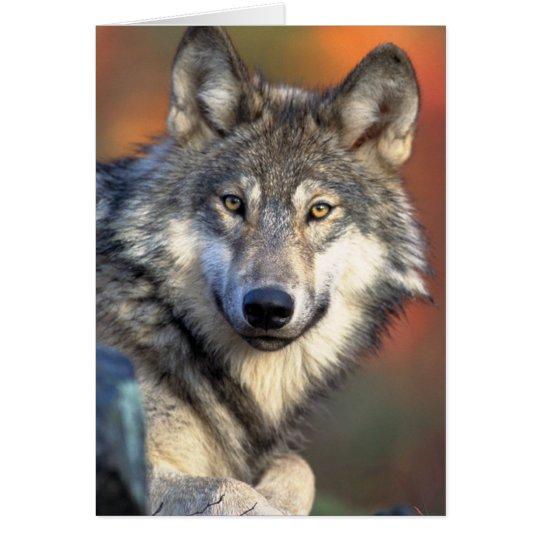 Atemberaubender grauer Wolf Grußkarte