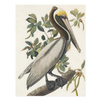 Audubons Brown-Pelikan Postkarte