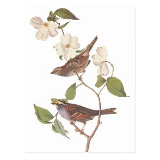 Audubons weißer Throated Spatz Postkarte