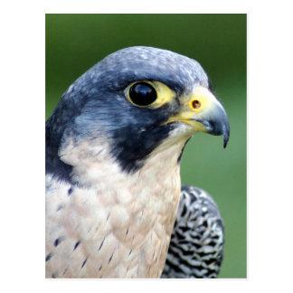 Ausländischer Falke-Gesichts-Foto Postkarte