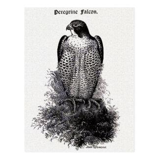 Ausländischer Falke-Vintage Vogel-Illustration Postkarte