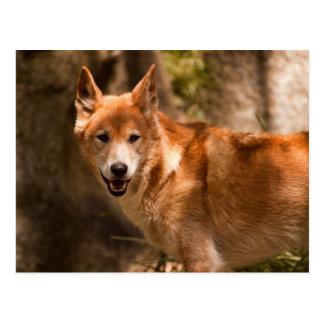 Australische Dingopostkarte Postkarte
