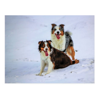 Australische Schäferpaarhunde Postkarte