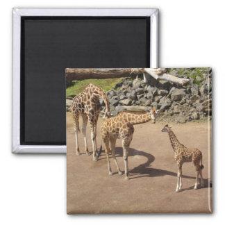 Baby-Giraffe und Giraffen-Familie Quadratischer Magnet