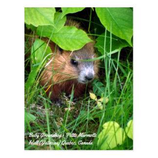 Baby Groundhog zierlicher Marmotte Frühling in Postkarte