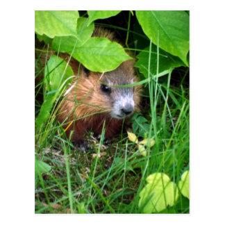 Baby Groundhog zierlicher Marmotte Rumpf Quebec Postkarte