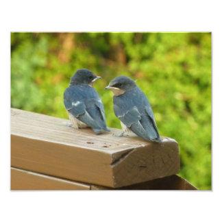 Baby-Scheunen-Schwalben-Natur-Vogel-Fotografie Fotodruck