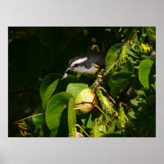 Bananaquit Vogel-Essentropische Natur-Fotografie Poster