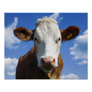 Bayerische Kuh gegen blauen Himmel Poster